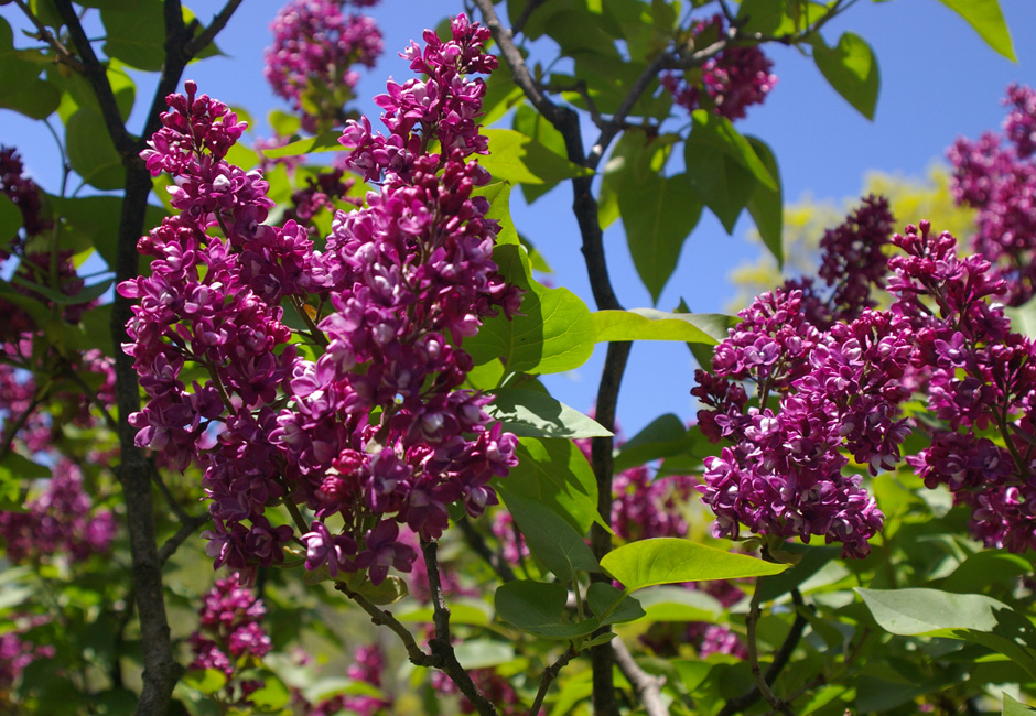 """Arthur William Paul"" Syringa vulgaris"