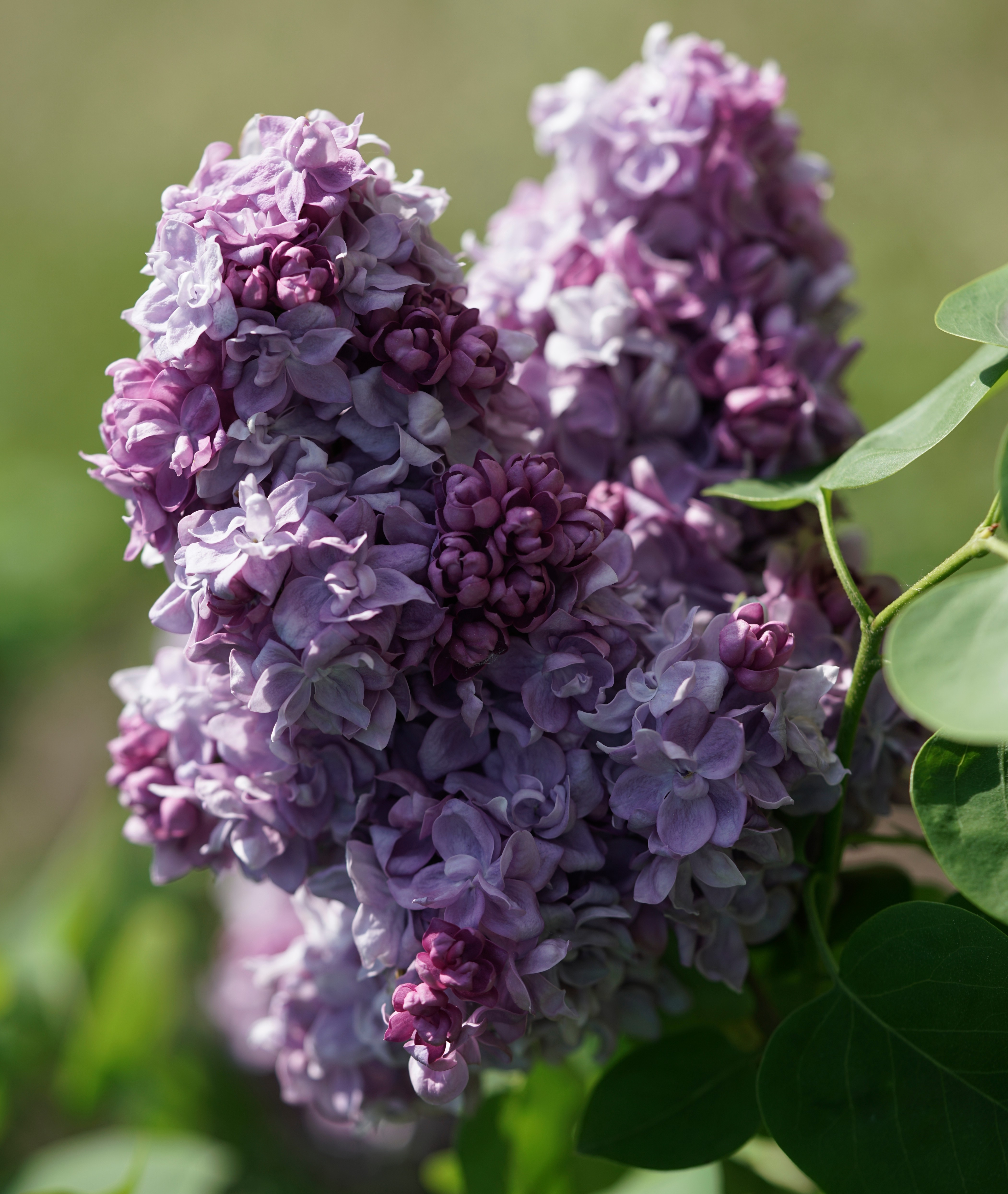 """Katherine Havemeyer""  Syringa vulgaris"