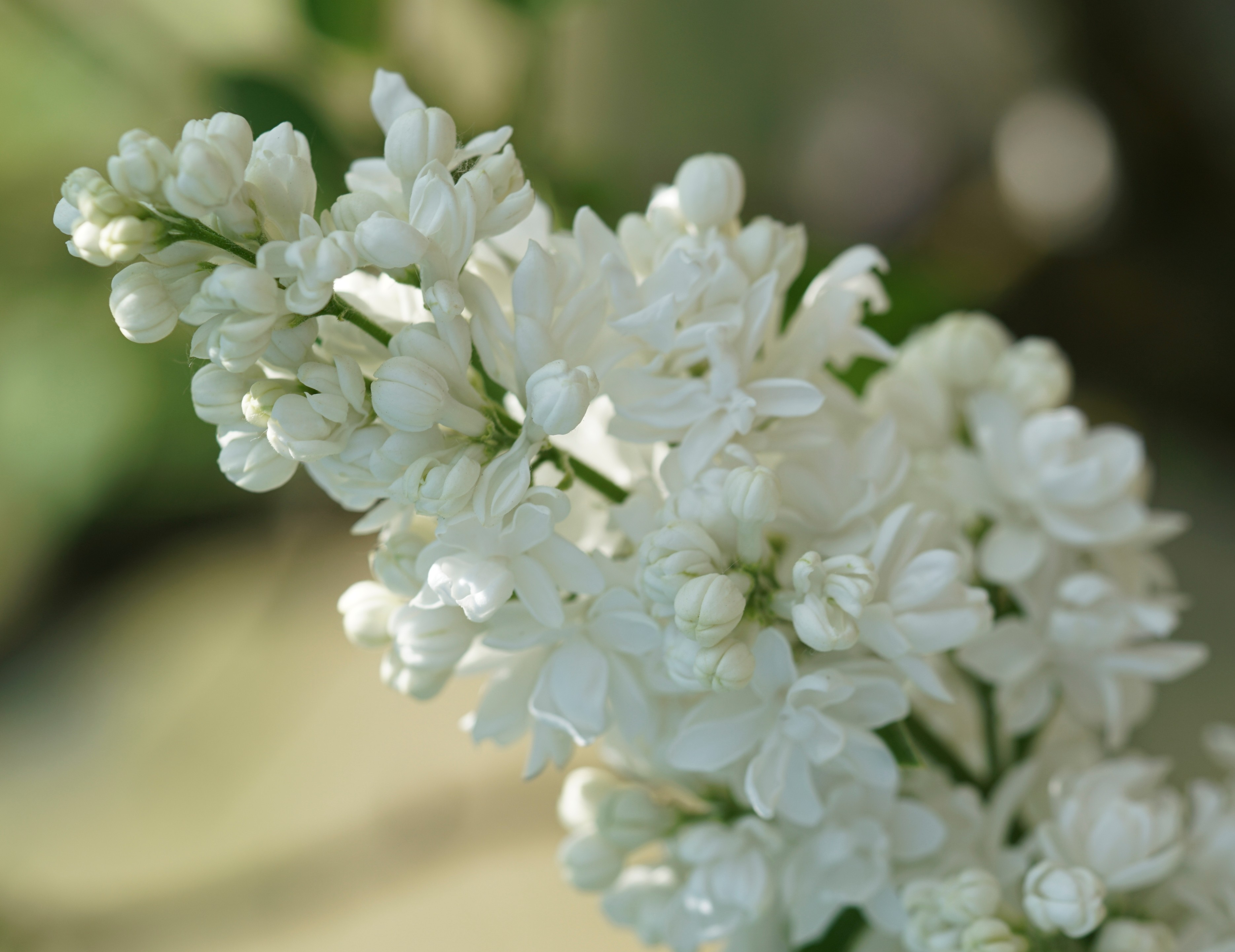 """Miss Ellen Willmot'' Syringa vulgaris"
