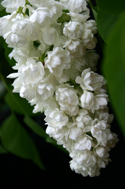 Syringa vulgaris ''Tribute to Kolesnikov''