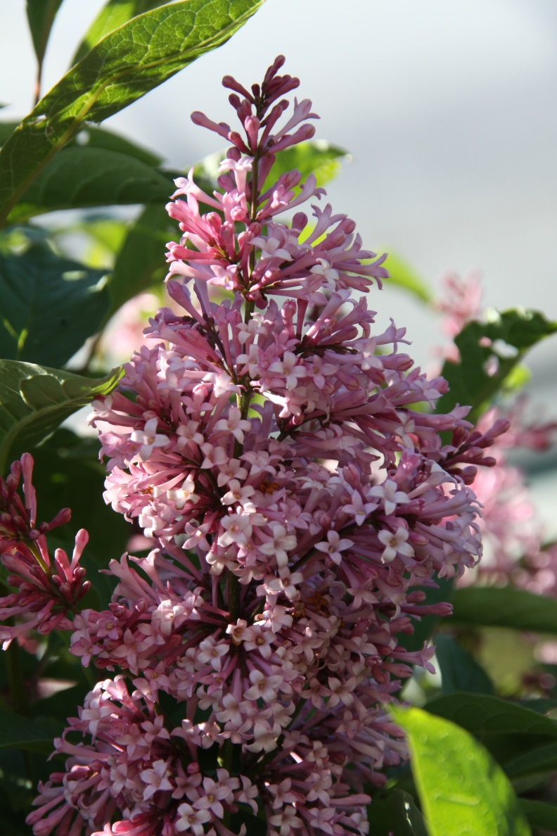 """James Mc Farlane"" Syringa prestoniae"