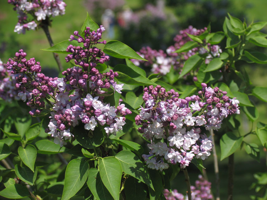 """General Pershing"" Syringa vulgaris"