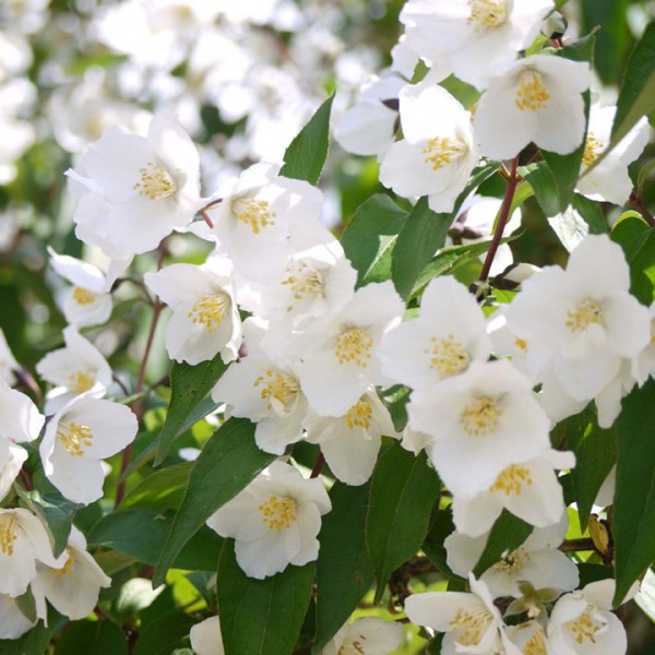 "Philadelphus ""Starbright"""