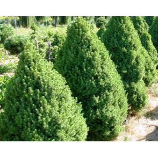 Picea glauca – Kanādas egles šķirne 'Conica' - Kanādas konika