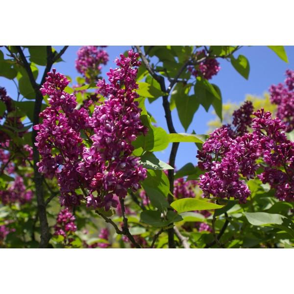 """""""Arthur William Paul"""" Syringa vulgaris"""