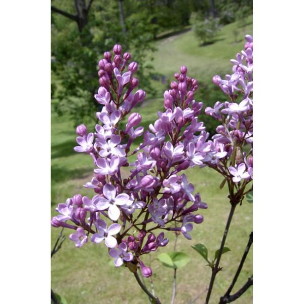 """Suringa hyacinthiflora """"Dark Night"""""""
