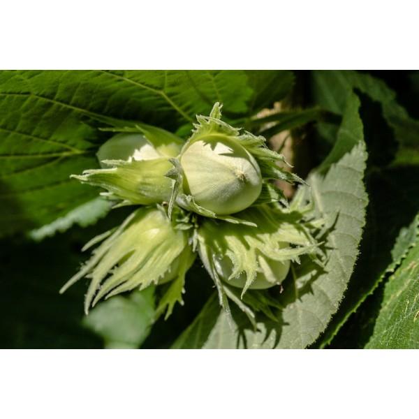 Corylus Avellana, common hazels