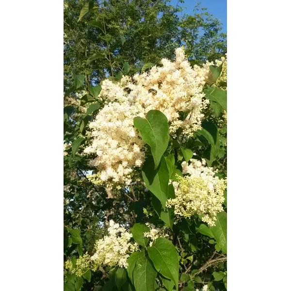 "Syringa reticulata subsp.amurensis  ""Amūras ceriņš"""