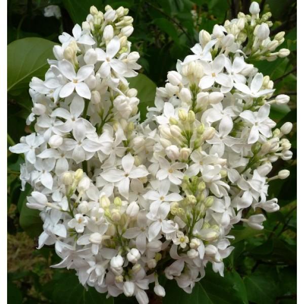 """""""Angel White"""" Syringa x hyachintiflora"""
