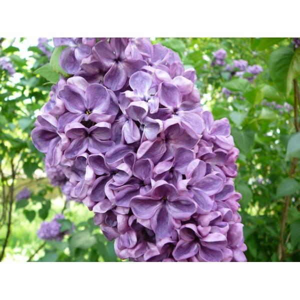"""Massena"" Syringa vulgaris"