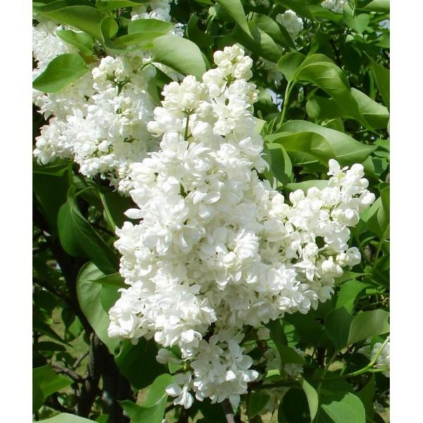 """""""Souv. d. Alice Harding"""" Syringa vulgaris"""