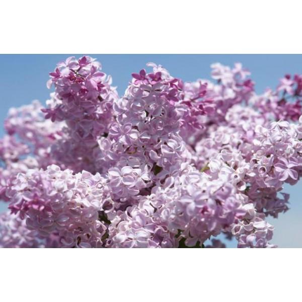 """Büffon"" Syringa x hyacinthiflora"