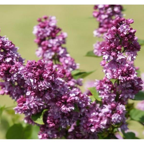 ''Ogni Donbassa'' Syringa vulgaris