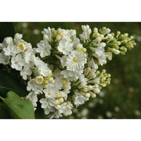 """'Rochester'' Syringa vulgaris"